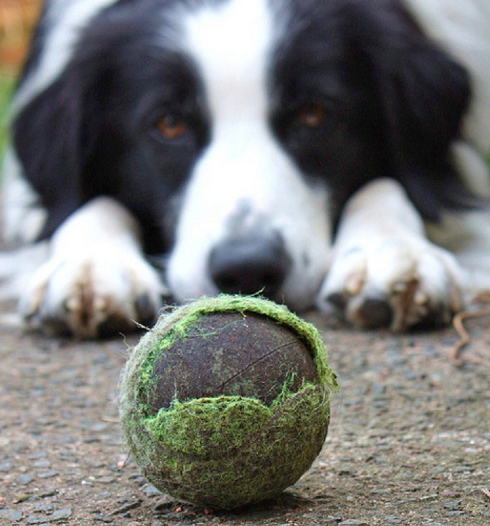 dog staring down ball